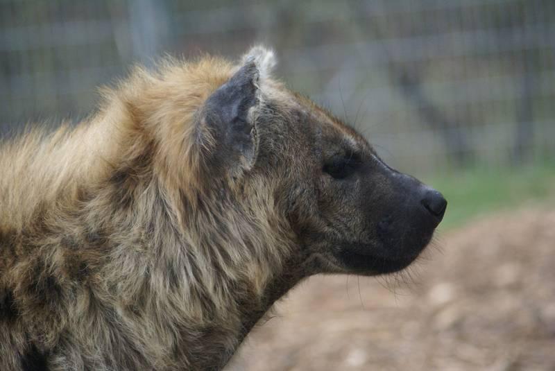 Шерсть гиены фото