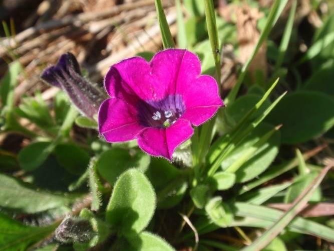 Petunia altiplana фото