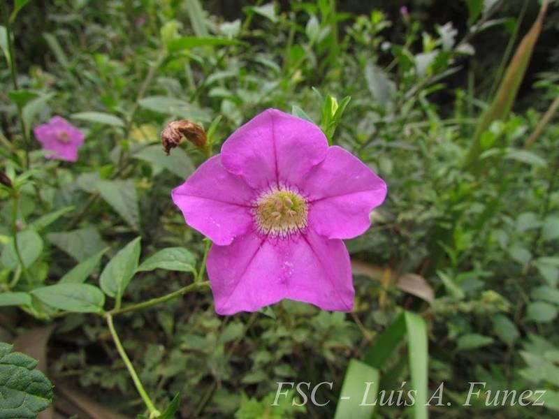 Petunia scheideana фото