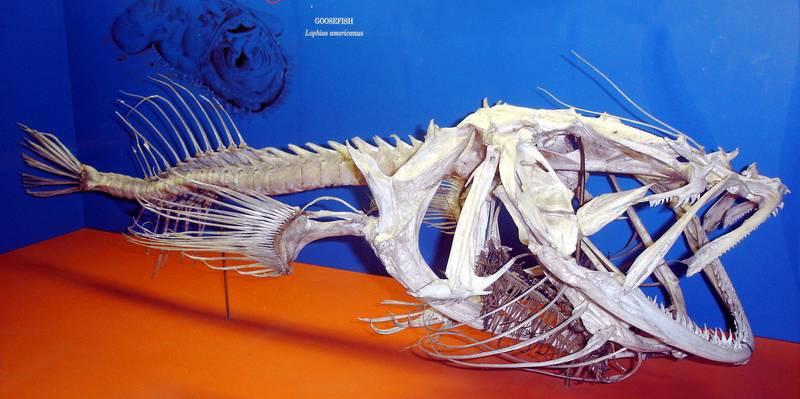 Морской удильщик (скелет) фото