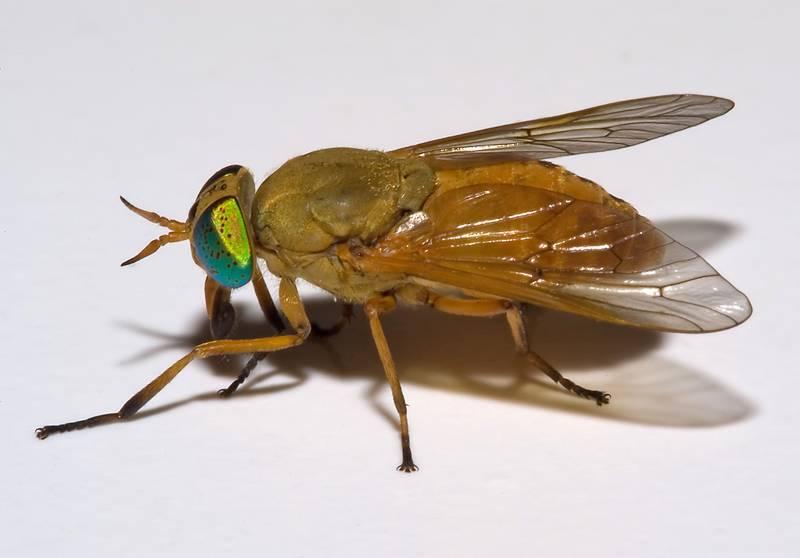Сильвий золотистый фото (лат. Silvius alpinus)
