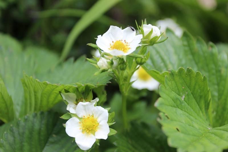Цветок земляники фото