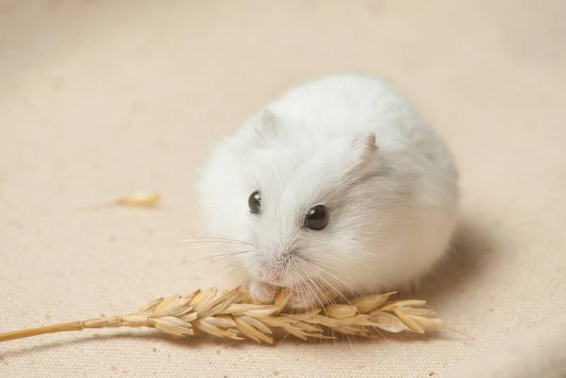 Белый хомяк фото