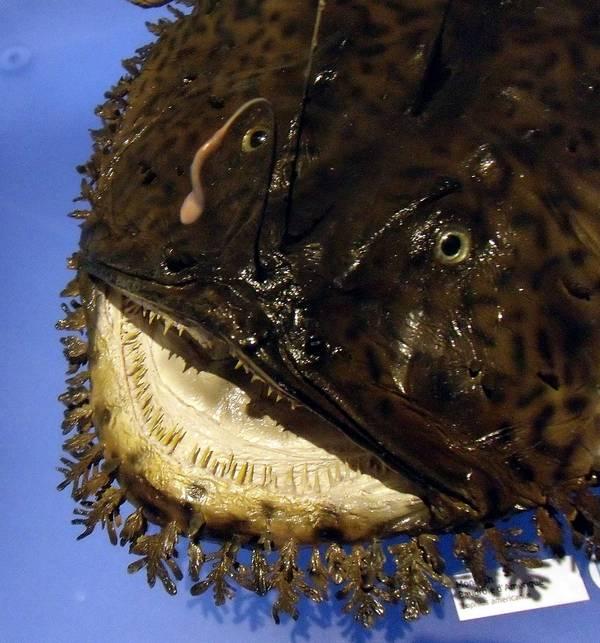 Голова и зубы морского черта фото (вид - Lophius americanus)