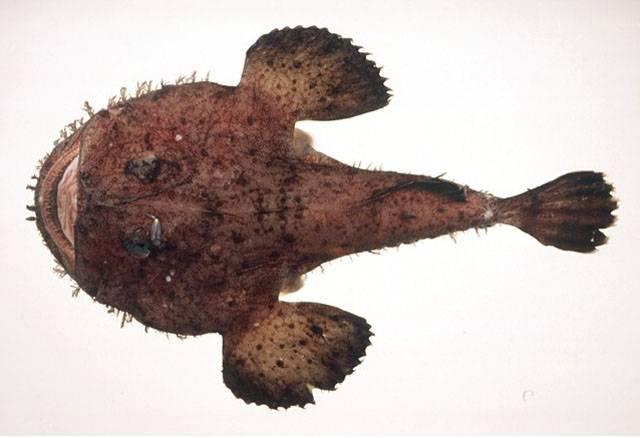 Дальневосточный морской черт (желтый удильщик, японский удильщик) фото (лат. Lophius litulon)