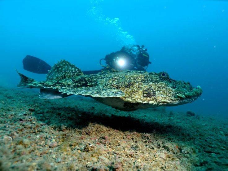 Европейский удильщик (европейский морской черт) фото (лат. Lophius piscatorius)