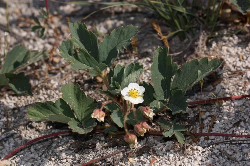 Земляника виргинская фото (лат. Fragaria virginiana)