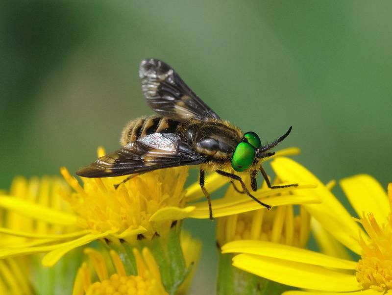 Обыкновенный пестряк (обыкновенный златоглазик) фото (лат. Chrysops relictus)