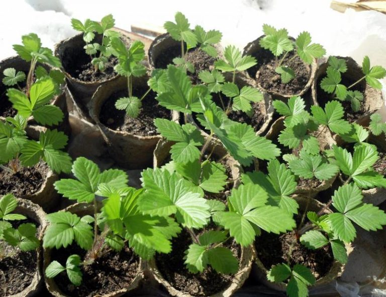 Как ускорить рост рассады земляники 4