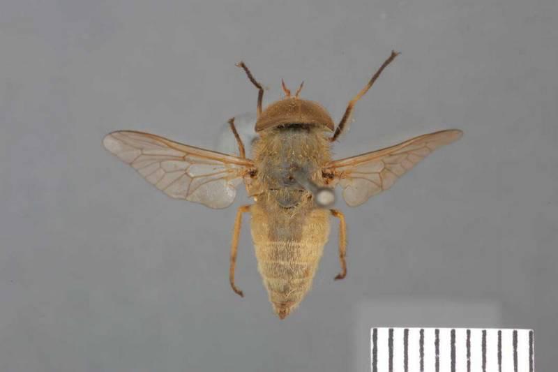 Слепень полевой фото (лат. Tabanus rusticus)