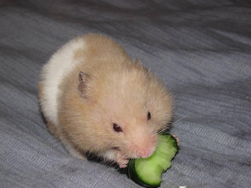 Чем питаются хомяки фото