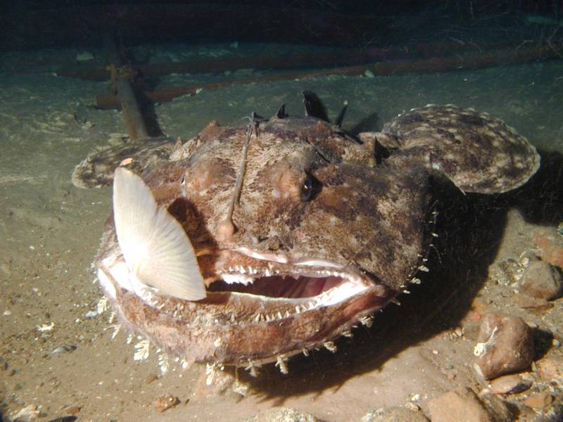 Что едят морские черти (удильщики) фото