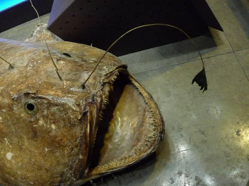 Эска удильщика (морского черта) фото