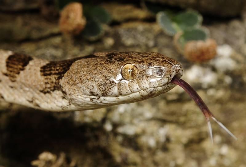 Глаз кошачьей змеи, которая относится к подсемейству ужовых, фото