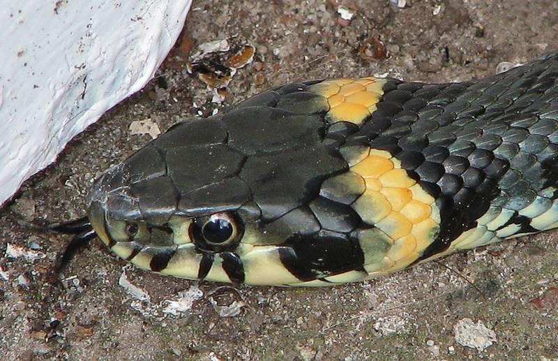 Голова и глаза обыкновенного ужа фото