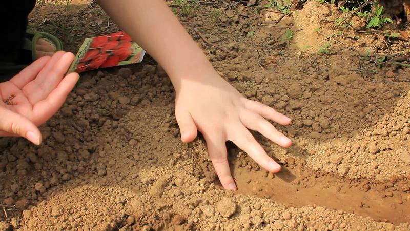 Как посадить редис фото