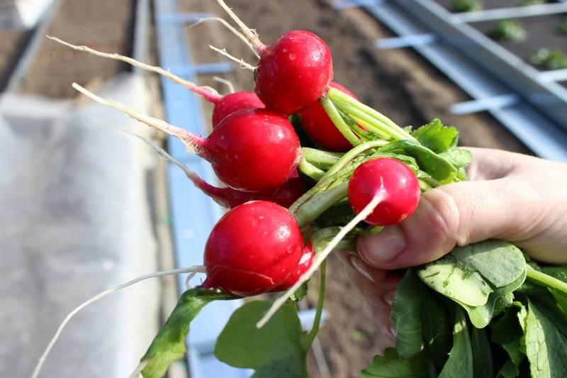 Красный редис Сора фото