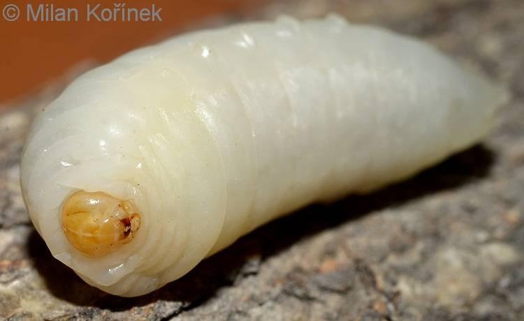 Личинка шершня обыкновенного фото
