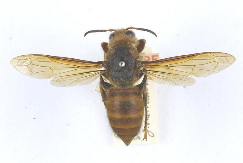 Переменный шершень фото (лат. Vespa fumida)