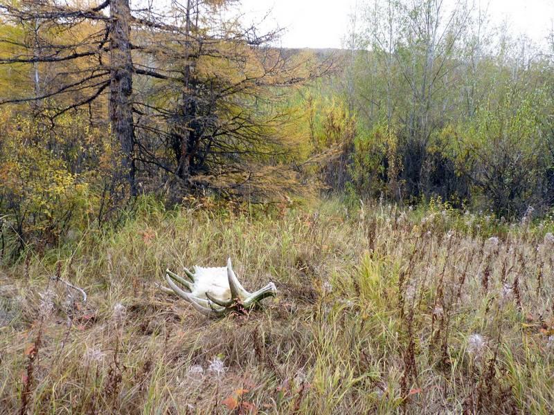 Рога лося в лесу