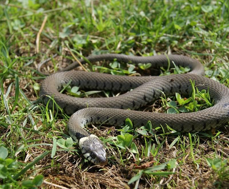меня сподвигло виды змей фото ужа фото гадюки природной белизной