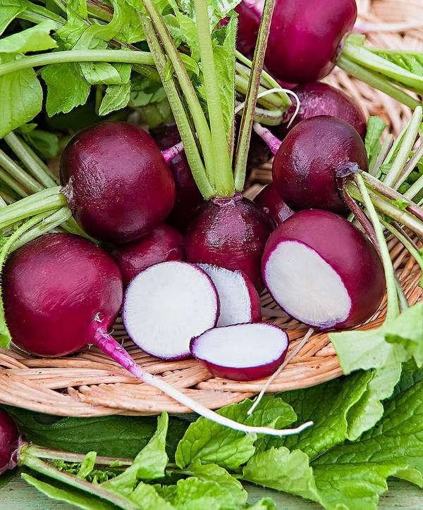 Фиолетовый редис Виола фото