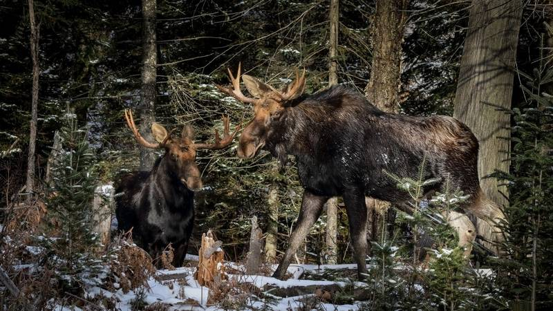 Фото лося в лесу