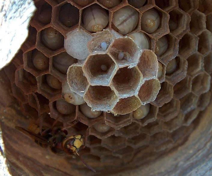 Яйца и личинки шершня в сотах фото