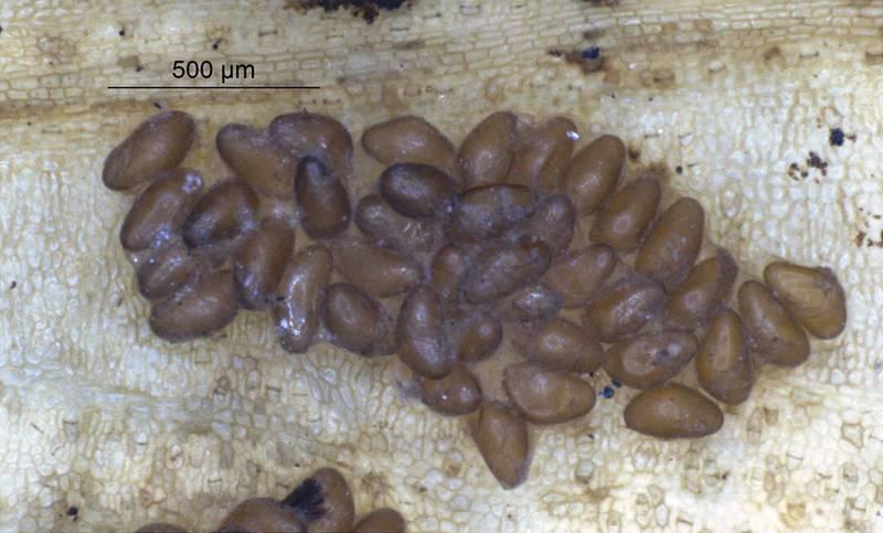 Яйца мошек фото (вид - Simulium guianense)