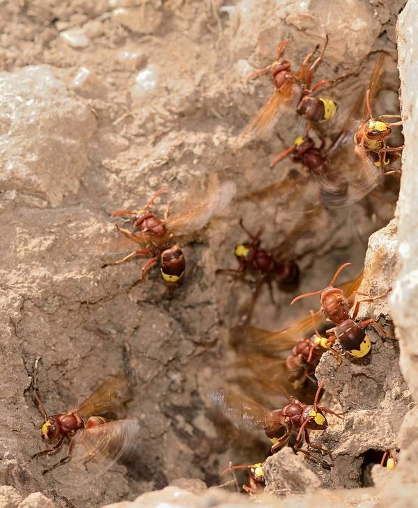 Вход в гнездо восточного шершня фото