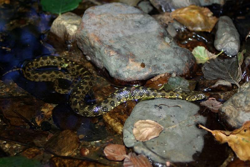 Гадюковый уж фото (лат. Natrix maura)