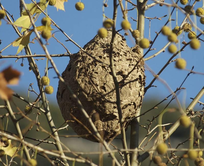 Гнездо шершней Vespa velutina снаружи фото