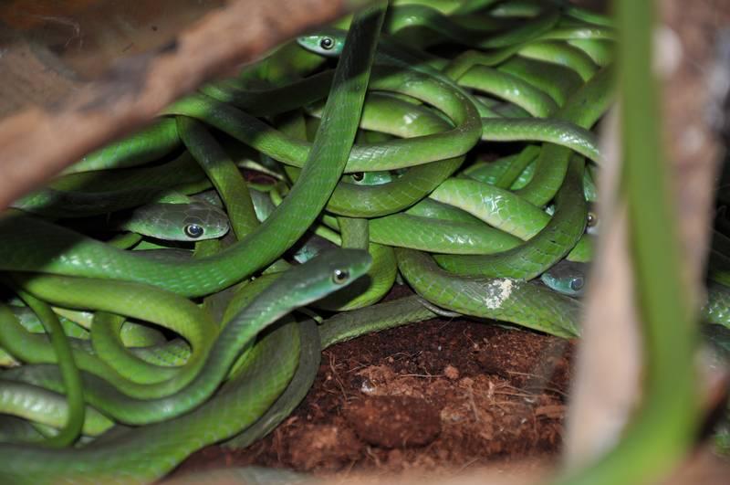 Зеленые кустарниковые ужи фото