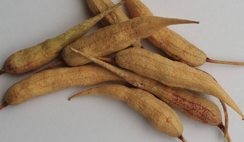 Плоды редиса с семенами фото
