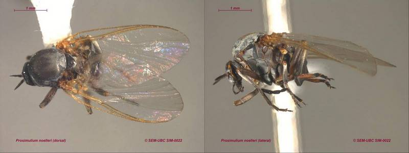 Светлолобая мошка фото (лат. Simulium noelleri)
