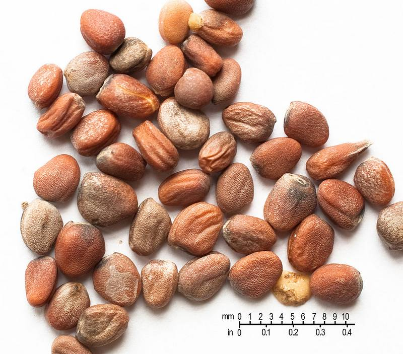 Семена редиса фото