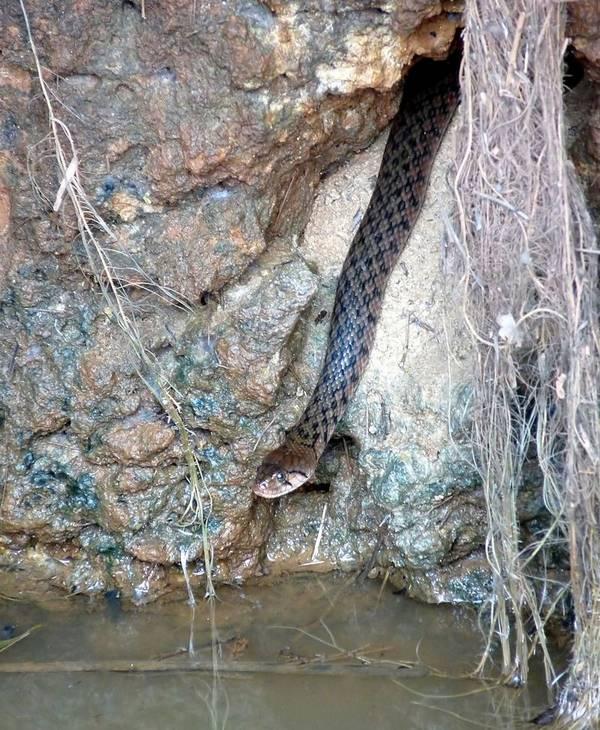 Уж-рыболов Шнайдера фото (лат. Xenochrophis piscator)