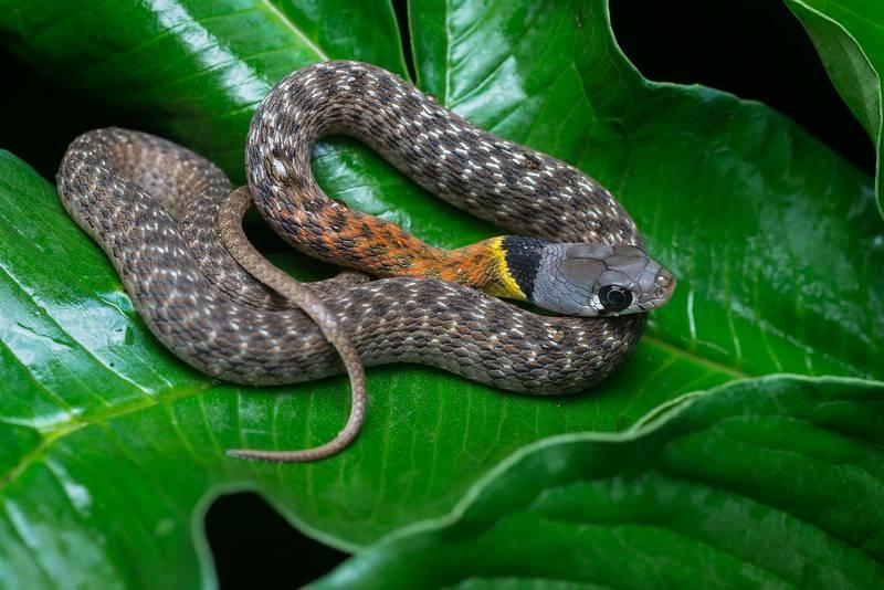 Уж фото змеи (вид - Rhabdophis subminiatus)