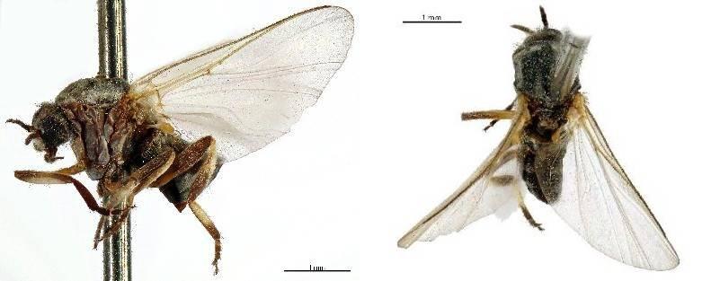 Украшенная мошка фото увеличенное (лат. Odagmia ornata)