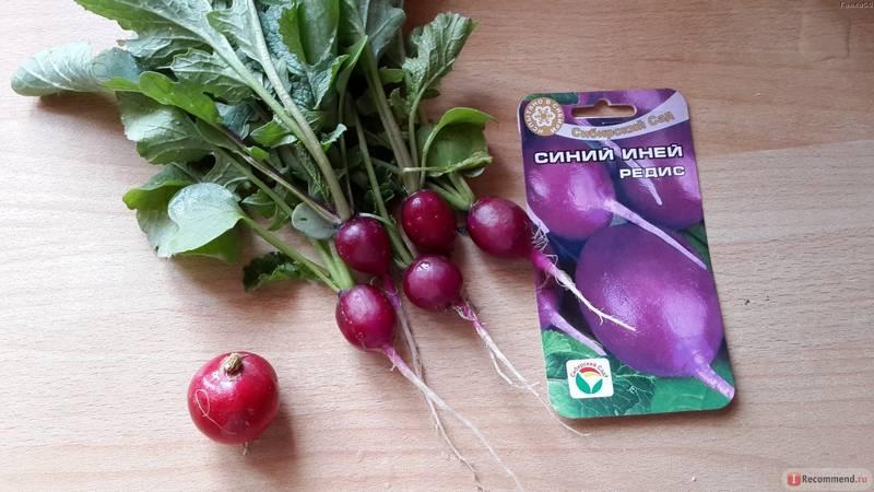 Фиолетовый редис Синий иней фото