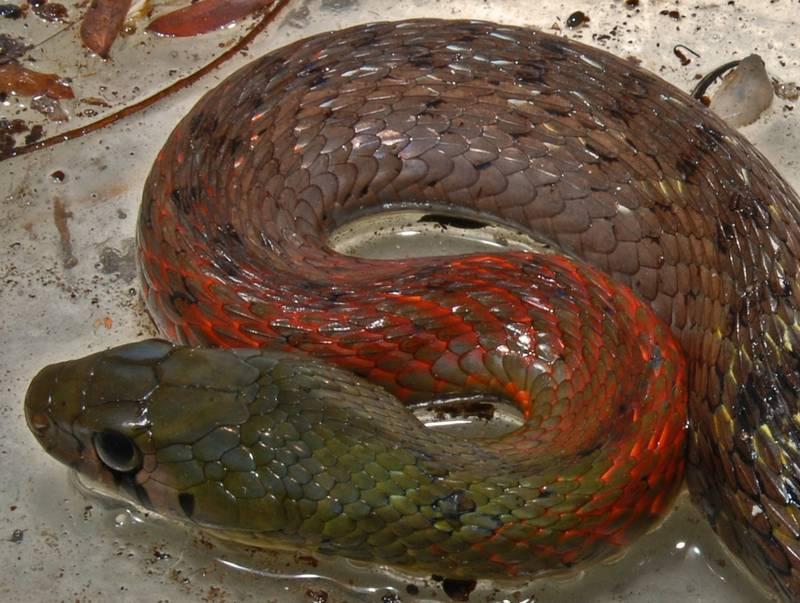 Чешуя ужа фото (вид - Rhabdophis subminiatus)