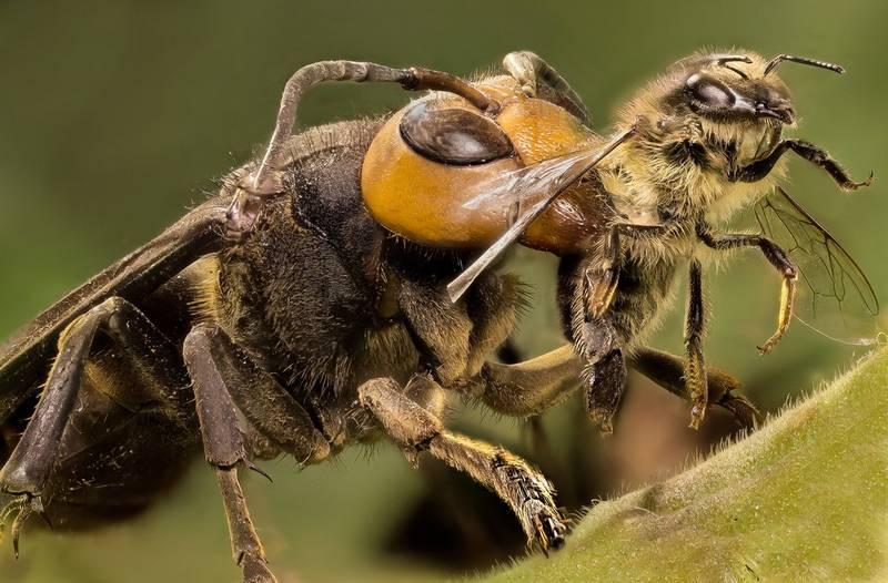 Шершень ест пчелу фото
