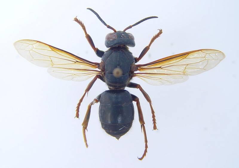 Шершень плачевный фото (лат. Vespa luctuosa)
