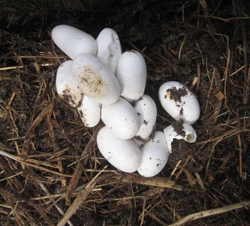 Яйца ужа обыкновенного фото