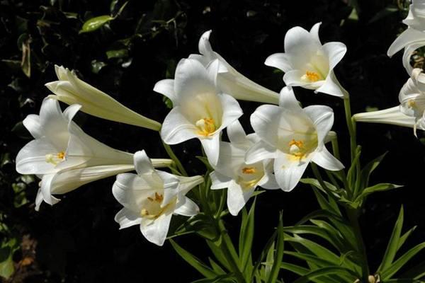 Длинноцветковый гибрид лилии сорт Уайт Фокс (White Fox) фото