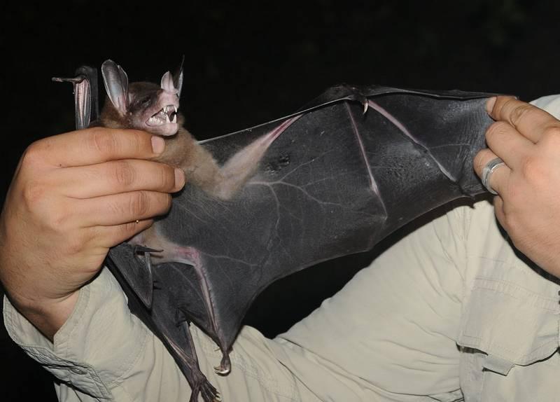 Как выглядит летучая мышь гигантский лжевампир фото