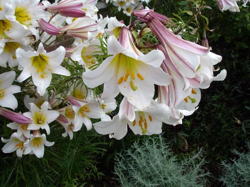 Королевская лилия (царственная лилия) цветок фото (лат. Lilium regale)