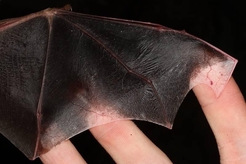 Крылья летучей мыши фото