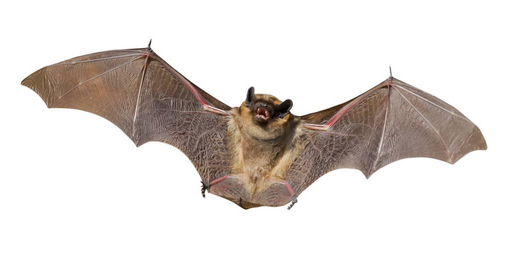 Летучая мышь характеристика животного