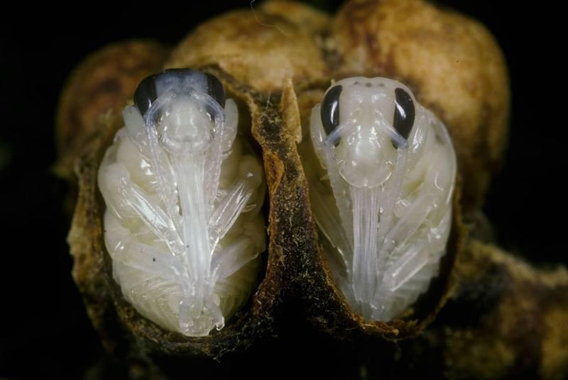 Личинки шмеля в коконе фото